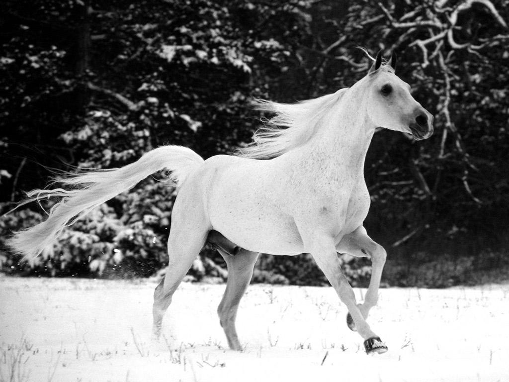Good Wallpaper Horse Desktop Background - white_stallion_horse1  Pictures_17112.jpg